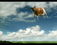 Floating cow